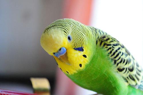 Как правильно кормить волнистого попугайчика