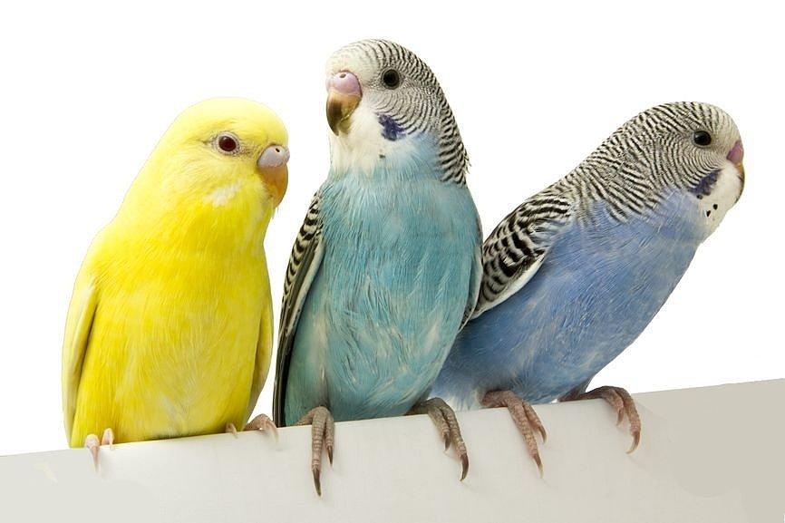 Минеральные подкормки и витамины для волнистых попугайчиков