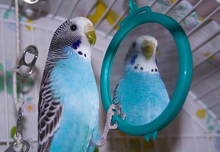 Выбираем игрушки для волнистого попугайчика