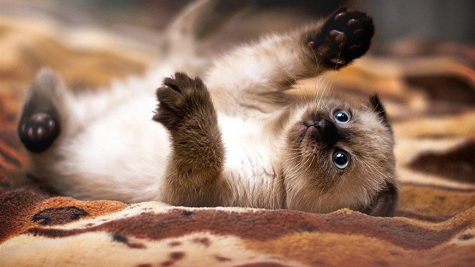 Как правильно заботиться о сиамском котёнке