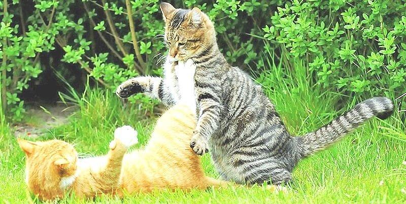 Действенные способы подружить двух кошек