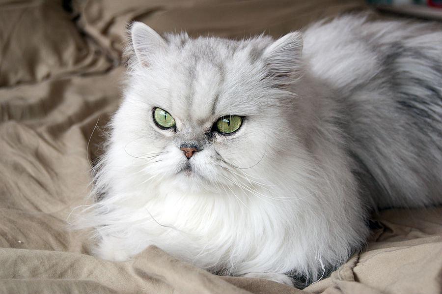 Особенности ухода за персидской кошкой