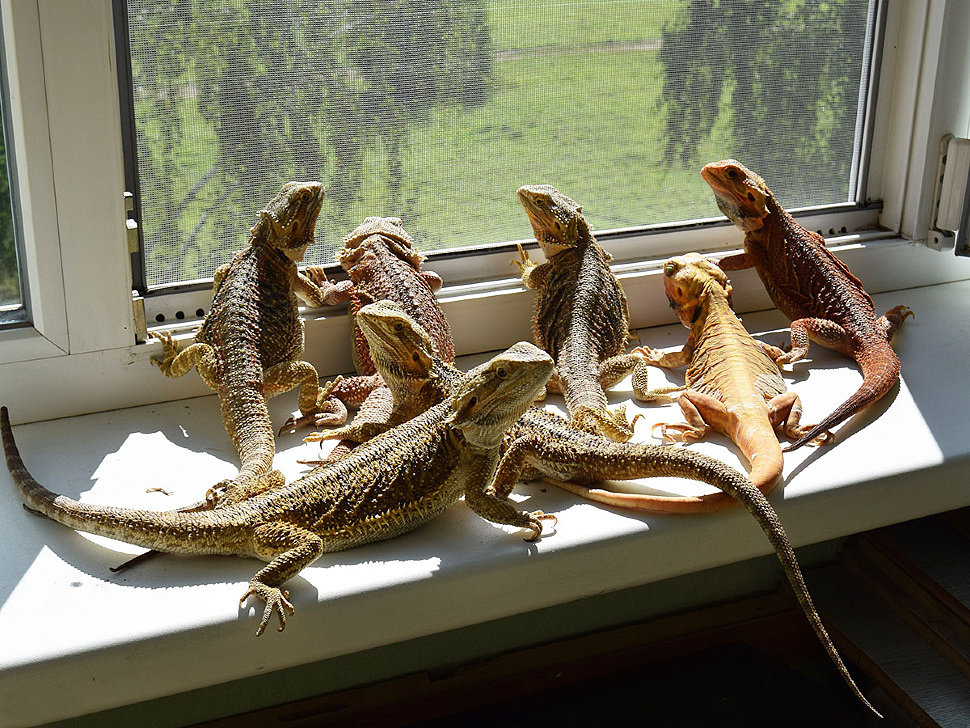 Содержание ящерицы в домашних условиях